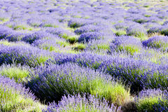 Lavender field. Plateau de Valensole, Provence, France Royalty Free Stock Images