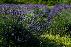 Lavender field Stock Images
