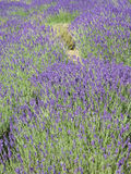 Lavender field. Close view of a lavender field in the region of Provence in the south of France Stock Photos