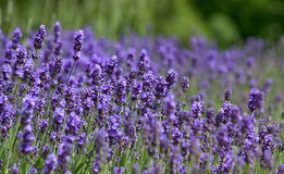 Lavender field. In the summer Stock Photography