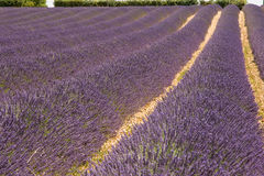 Lavender field. In the south of France Royalty Free Stock Images