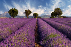 Lavender field. Image shows a lavender field in the region of Provence, southern France, photographed on a windy afternoon Royalty Free Stock Photography