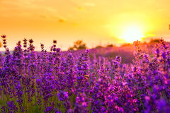 Free Lavender Field Stock Image - 41941531