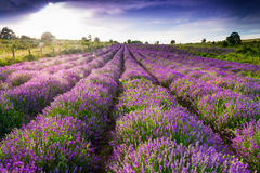 Free Lavender Field Royalty Free Stock Image - 42196306
