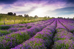 Free Lavender Field Stock Photography - 42196312