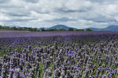 Lavender Field. Image shows a lavender field in the Tasmania, photographed on a windy afternoon royalty free stock image