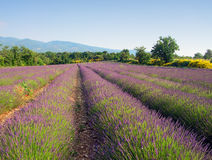 Lavender field Stock Photo