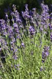 Lavender field. Aromatic beautiful lavender field background Stock Photography