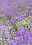 Lavender Field. Focus on the central part Stock Photos