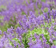 Lavender Field. Focus on the central part Stock Photography