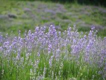 Lavender field. Above the village Gurzuf in Crimea Royalty Free Stock Photo