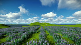 Lavender field against beautiful timelapse clouds stock footage