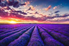 Free Lavender Field At Sunset With Beautiful Cloudscape Royalty Free Stock Photos - 180748708