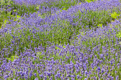 Lavender field background Royalty Free Stock Images