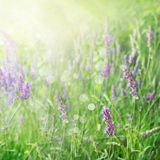 Lavender field background Royalty Free Stock Image