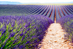 Lavender field background Royalty Free Stock Photography