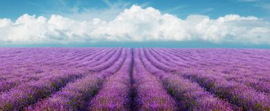 Lavender field. On a background of clouds Stock Images