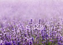 Lavender. Field on a background of clouds Royalty Free Stock Photography