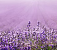 Lavender. Field on a background of clouds Royalty Free Stock Photo
