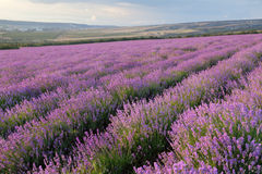 Lavender field. On a background of clouds and mountains Stock Photo