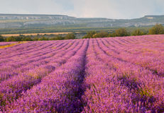 Lavender field. On a background of clouds and mountains Royalty Free Stock Photo