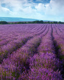 Lavender field. On a background of clouds and mountains Royalty Free Stock Image