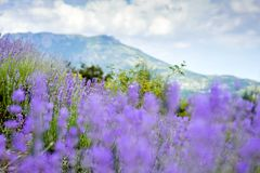 Lavender field on the background of mountains and sky with clouds. NThe picturesque landscape of purple field of fragrant lavender on the background of high royalty free stock photography