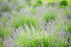 Lavender field. A background of lavender plants growing in the field Stock Images