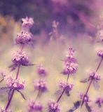 Lavender field. Stock Photography