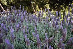 Lavender field. Beautiful purple lavender flower field royalty free stock photos