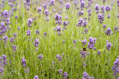 Lavender field with a bee Stock Image