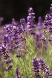 Lavender in a field Royalty Free Stock Images