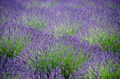 Lavender field in bloom with a natural alternating pattern. In New Mexico stock image