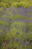Lavender Field in Bloom, Vancouver Island, Canada. Lavender field in bloom near North Saanich on Vancouver Island, British Columbia, Canada Stock Image
