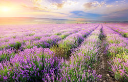Lavender. Stock Images