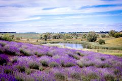Lavender field blooms against the lake royalty free stock photos