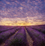 Lavender field in blossom Royalty Free Stock Images