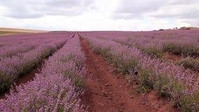 Lavender stock video