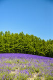 Lavender field with blue sky Royalty Free Stock Photos