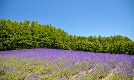 Lavender field with blue sky Stock Photo