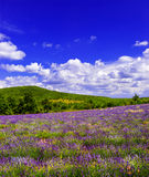 Lavender field with blue sky in Provence, France Royalty Free Stock Photo