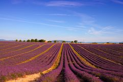 Lavender field with bright purple flowers