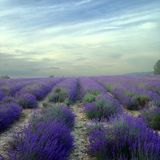 Lavender field and brooding sky. Royalty Free Stock Image
