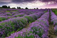 Lavender field Royalty Free Stock Image