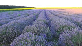 Lavender field in Bulgaria stock footage