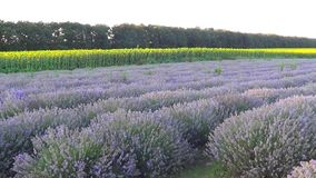 Lavender field, Bulgaria stock video footage
