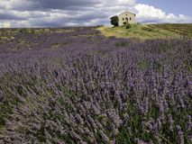 lavender field with chapel in South-France royalty free stock photo