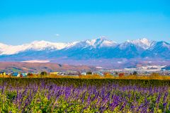 Lavender Field at Choei Lavender Farm Hokkaido Tomita farm. Beautiful purple lavender field at furano in Hokkaido, Japan. Lavend. Er field with snow mountain far royalty free stock photography
