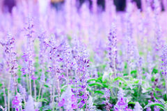 Lavender field in clear of weather. Soft violet color of lavender field Stock Photo