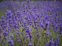 Lavender field. Close up lavender stock photo